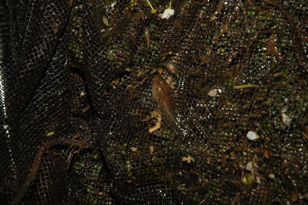 Iberische vroedmeesterpad (Alytes cisternasii)