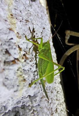 Tettigonia cantans - Kleine groene sprinkhaan