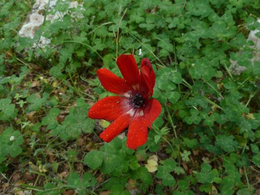 Anemone povanina