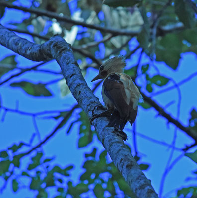 Cream-colored Woodpecker
