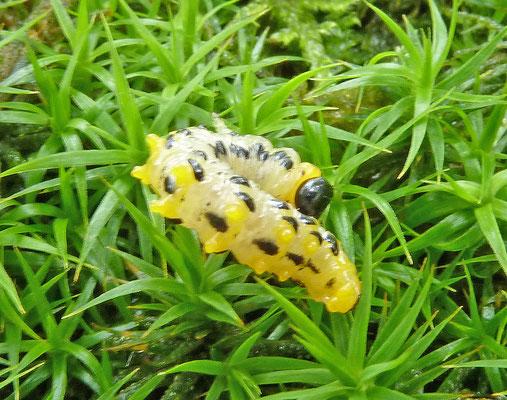 Craesus septentrionalis - Elzebladwesp (larve)