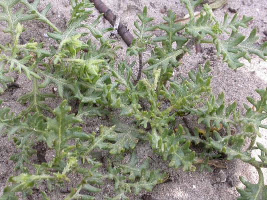 Solanum triflorum - Driebloemige nachtschade
