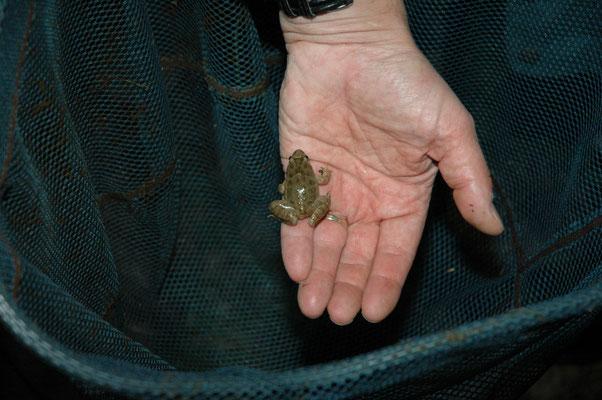 West-Iberische schijftongkikker (Discoglossus galganoi)