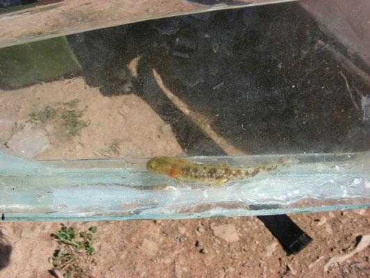 vuursalamander (Salamandra salamandra morenica)