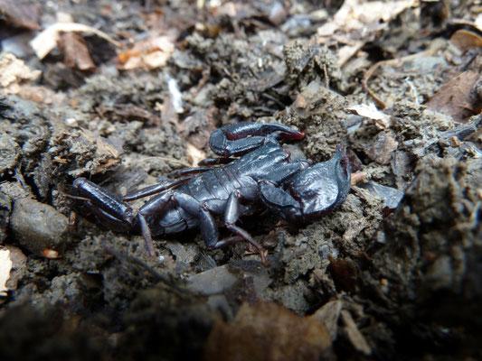 Euscorpius italicus/hadzii