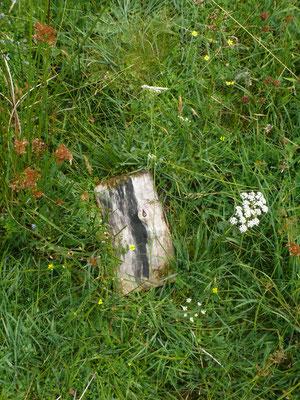 Conopodium majum - Franse aardkastanje