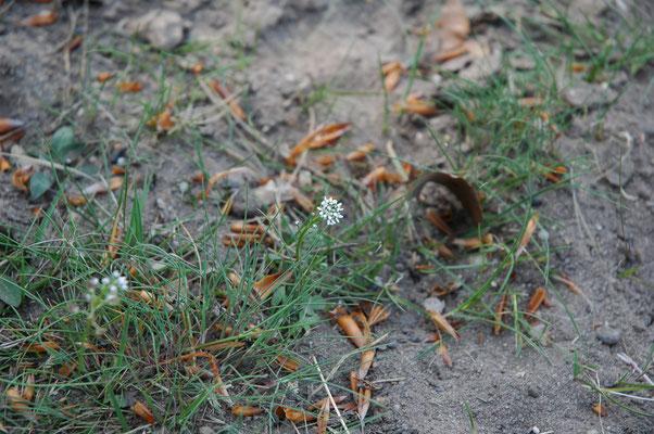 Teesdalia nudicaulis - Klein tasjeskruid