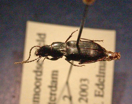 Pterostichus minor