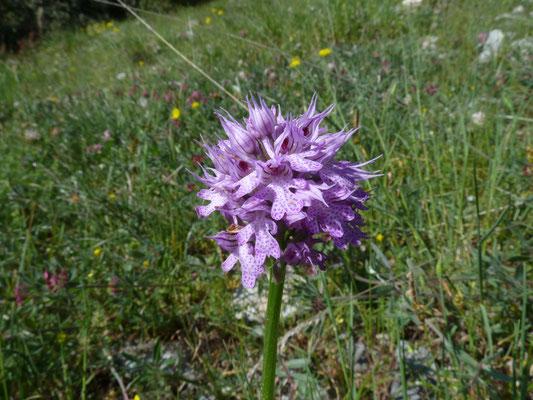 Orchis tridentata - Drietandige orchis