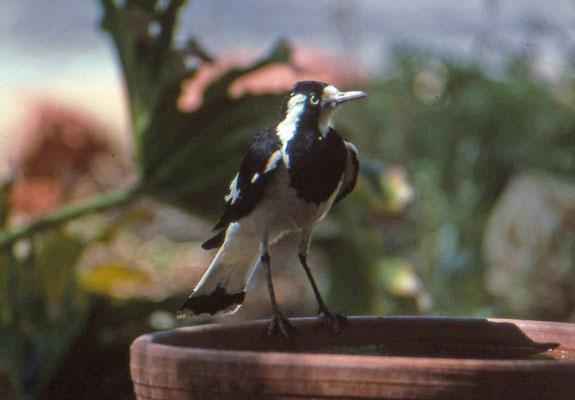 Australian Magpie-lark