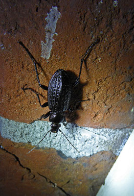 Carabus garnulatus bij de deurpost