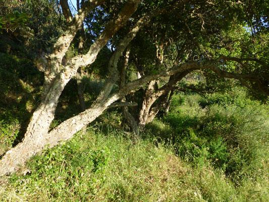 Quercus suber - Kurkeik
