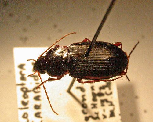 Calathus erratus
