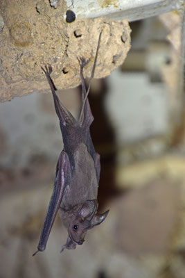 Greater Mouse-tailed Bat (Rhinopoma microphyllum)