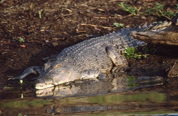 Crocodlilus porosus - Saltwater Crocodile