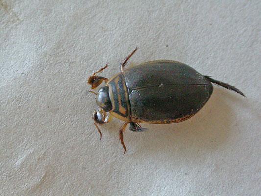 Acilius sulcatus - Gegroefde haarwaterroofkever