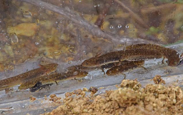 Alpenwatersalamander (Ichtyosaurus alpestris)