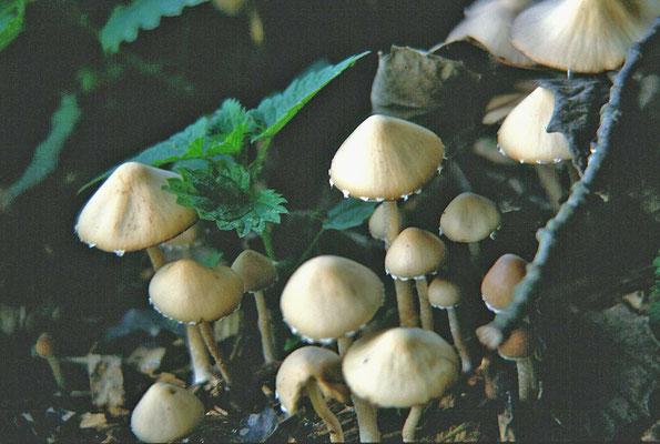 Psathyrella candolleana - Bleke franjehoed