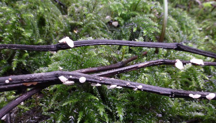 Hymenoscyphus albidus - Essenvlieskelkje
