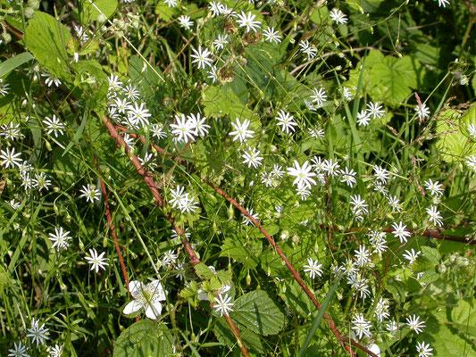 Stellaria graminea - Grasmuur