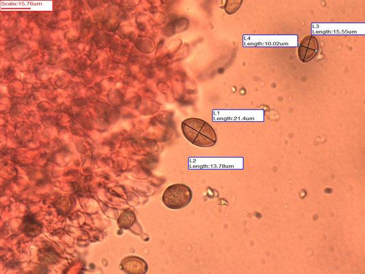 Agrocybe ochracea - Okeren leemhoed