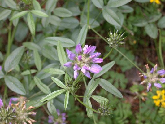Trifolium medium - Bochtige klaver