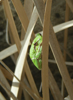 Hyla meridionalis - Zuideuropese boomkikker