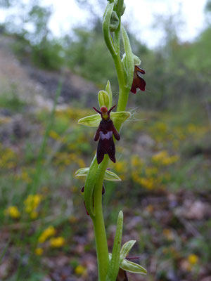 vliegenophrys (Ophrys insectifera)