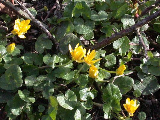 Ranunculus ficaria - Speenkruid
