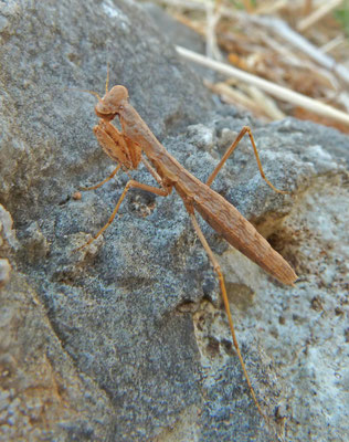 Geomantis larvoides