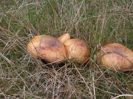 Suillus bovinus - Koeienboleet