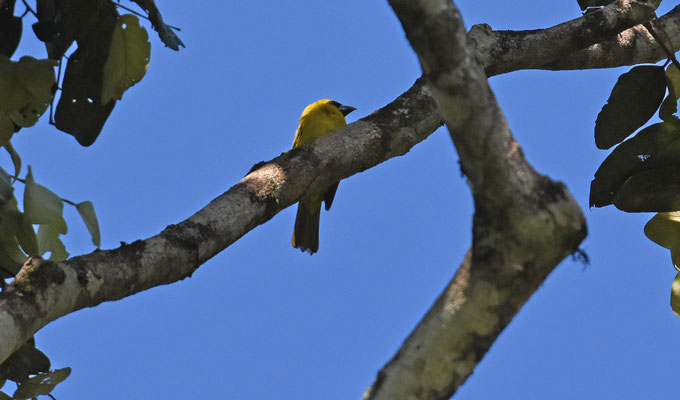 Yellow-green Grosbeak