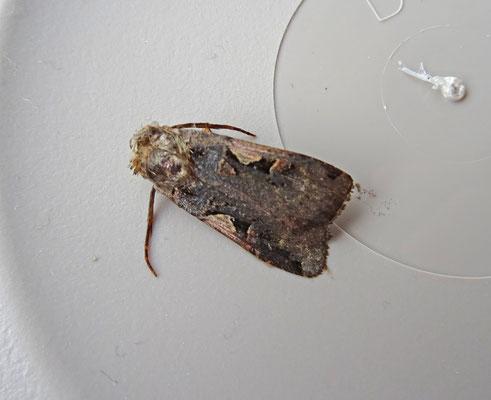 Xestia c-nigrum - Zwarte c-uil