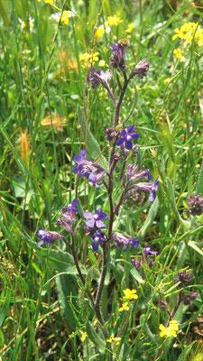 Anchusa azurea - Blauwe ossentong