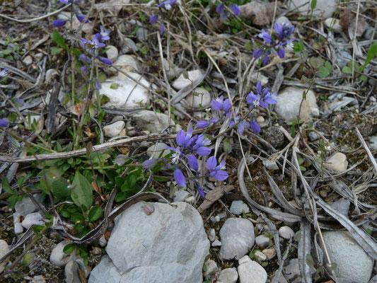 Polygala serpyfolia - Liggende vleugeltjesbloem