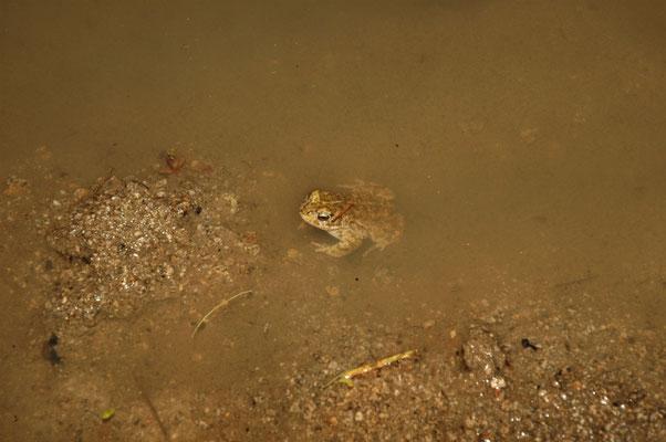 rugstreeppad (Bufo calamita)