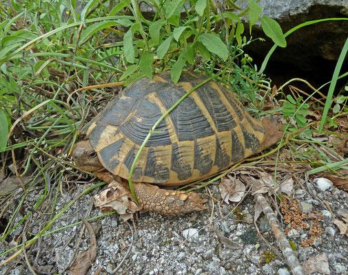 Testudo hermanni - Griekse landschildpad
