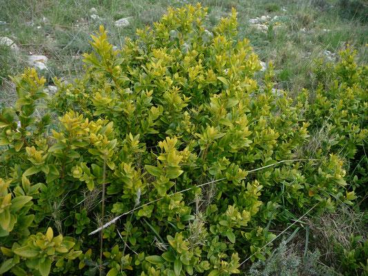 Buxus sempervirens - Palmboompje