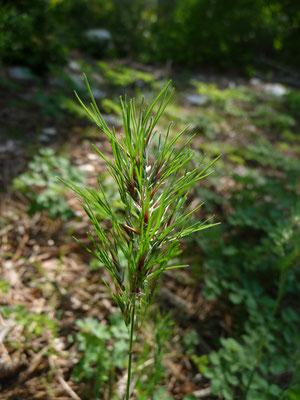 Antoxanthum aristatum - Slofhak