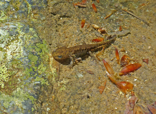 Euproctus montanus - Corsicaanse beeksalamander