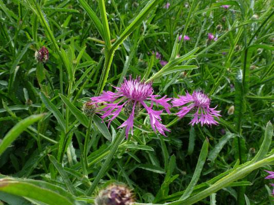 Centaurea sonchifolia