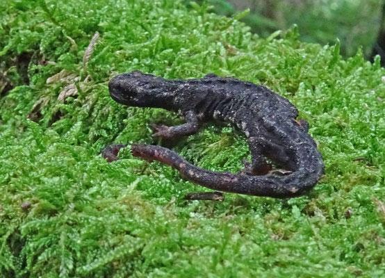 Salamandrina perspicillata - Noordelijke brilsalamander