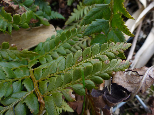 Polysticum setiferum - Naaldvaren