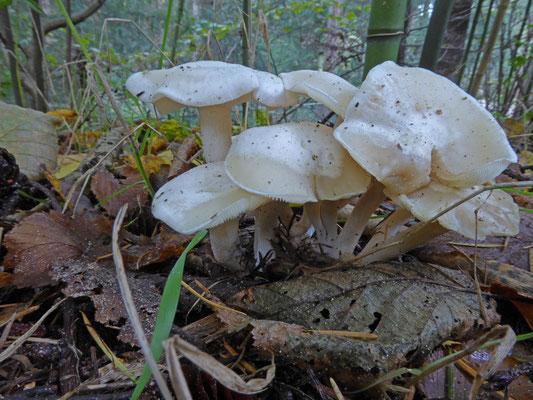 Lyophyllum connatum - Witte bundelridderzwam