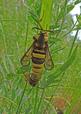 Sesia apiformis - Hoornaarvlinder