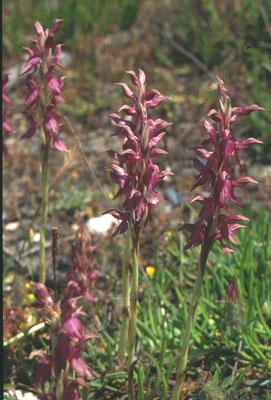 Anacamptis sancta - Heilige orchis