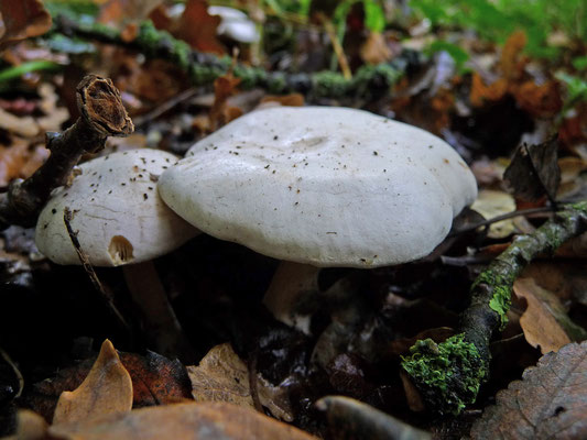 Clitocybe phyllophila - Grote bostrechterzwam