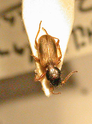 Bembidion laterale