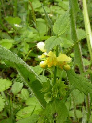 Lamium galeobdolon montanum - Grote gele dovenetel