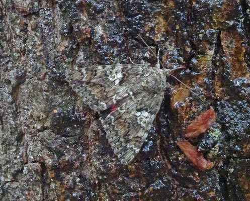 Catocala sponsa - Karmozijnrood weeskind